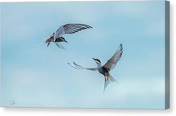 Hirundo Canvas Print - Dancing Terns by Torbjorn Swenelius