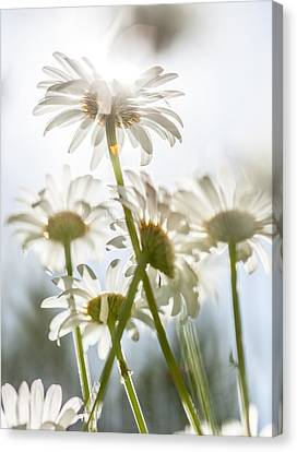 Canvas Print featuring the photograph Dancing With Daisies by Aaron Aldrich