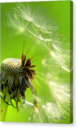 Canvas Print featuring the photograph Dandelion by Alana Ranney