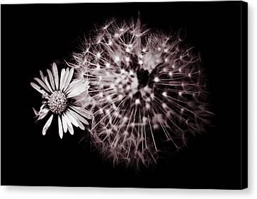 Dandelion And Daisy Canvas Print by Grebo Gray
