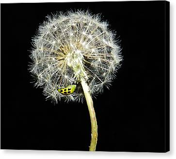 #170 Dandelion And The Beetle Canvas Print by Delana Epperson