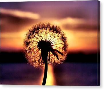 Dandelion At Sundown Canvas Print
