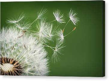 Canvas Print featuring the photograph Dandelion Blowing by Bess Hamiti