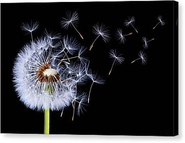 Canvas Print featuring the photograph Dandelion Blowing On Black Background by Bess Hamiti