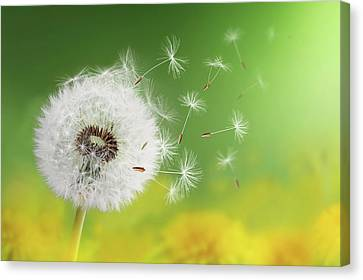 Canvas Print featuring the photograph Dandelion Clock In Morning by Bess Hamiti