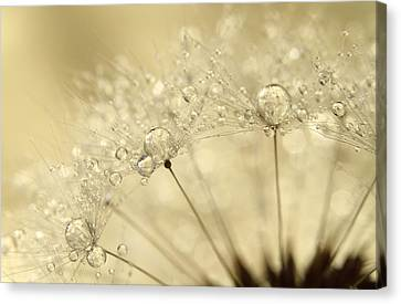 Dandelion Drops Canvas Print