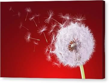 Dandelion Flying On Reed Background Canvas Print