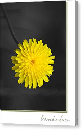Dandelion Canvas Print by Holly Kempe