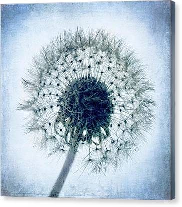 Dandelion In Blue Canvas Print by Tamyra Ayles