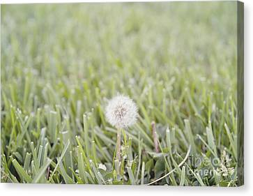 Canvas Print featuring the photograph Dandelion In The Grass by Cindy Garber Iverson