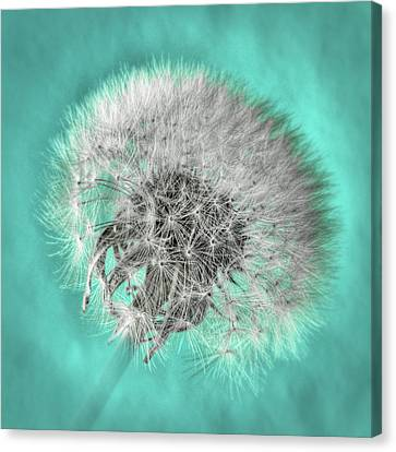 Dandelion In Turquoise Canvas Print by Tamyra Ayles