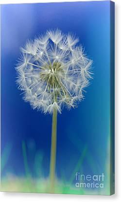 Dandelion Canvas Print by Rawshutterbug