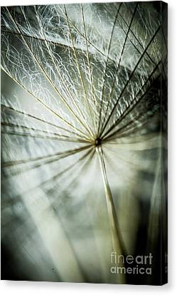 Dandelion Petals Canvas Print by Iris Greenwell