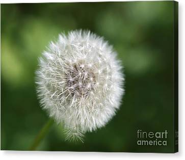 Dandelion - Poof Canvas Print