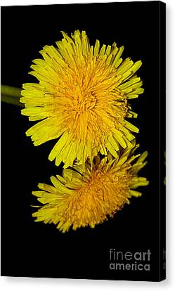 Dandelion Reflecting By Kaye Menner Canvas Print
