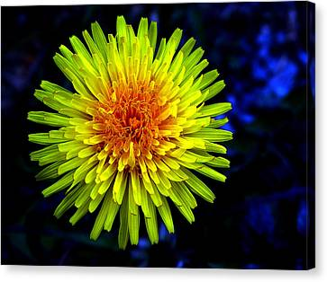 Dandelion Canvas Print by Robert Knight