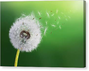 Canvas Print featuring the photograph Dandelion Seed by Bess Hamiti