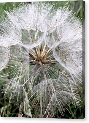 Canvas Print - Dandelion Seed Head  by Kathy Spall
