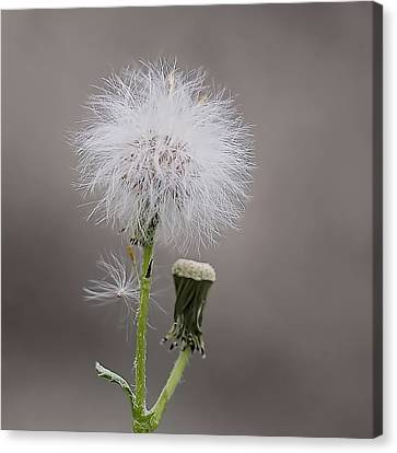 Dandelion Seed Head Canvas Print by Rona Black