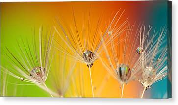 Dandelion Seed With Water Drops Canvas Print by Nguyen Truc