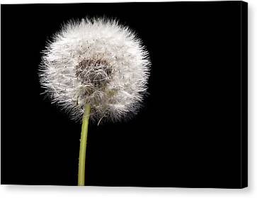 Dandelion Seedhead Canvas Print by Steve Gadomski