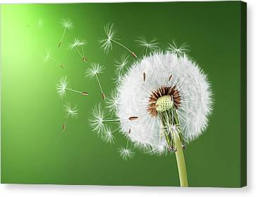 Canvas Print featuring the photograph Dandelion Seeds by Bess Hamiti