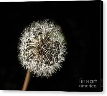 Dandelion Seeds Canvas Print by Robert Bales