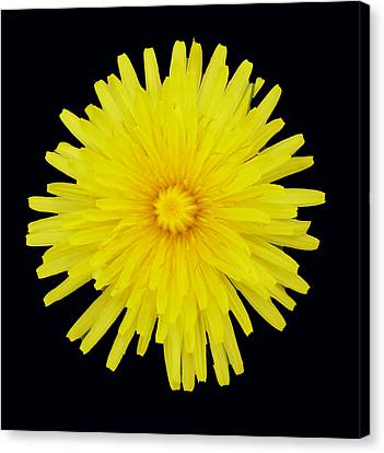 Dandelion Canvas Print by Shirley anne Dunne