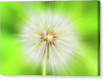 Dandelion Warp Canvas Print