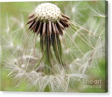 Dandelion Wish 8 Canvas Print