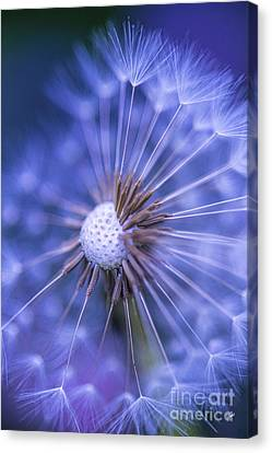 Dandelion Wish Canvas Print by Alana Ranney