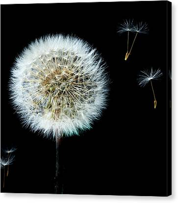 Dandelion With Floating Seed Heads  Canvas Print