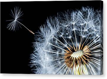 Canvas Print featuring the pyrography Dandy by Bess Hamiti