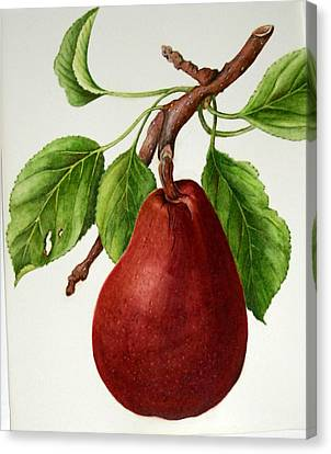 Canvas Print featuring the painting D'anjou Pear by Margit Sampogna