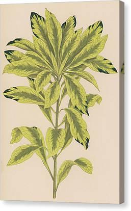 Daphne Mazereon Variegata Canvas Print by English School