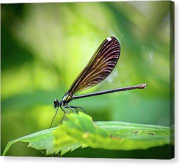 Canvas Print featuring the photograph Dark Damsel by Bill Pevlor