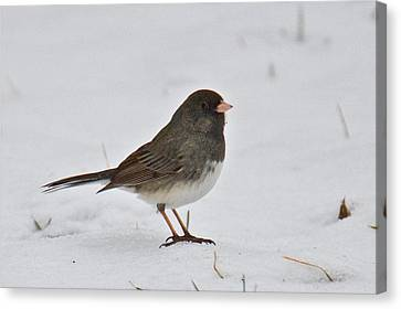 Canvas Print featuring the photograph Dark-eyed Junco 1217 by Michael Peychich