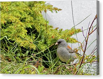 Canvas Print - Dark Eyed Junco by Natural Focal Point Photography