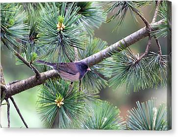 Dark-eyed Junco On A Pine Tree Canvas Print by David Gn