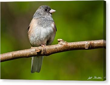 Dark Eyed Junco Perched On A Branch Canvas Print