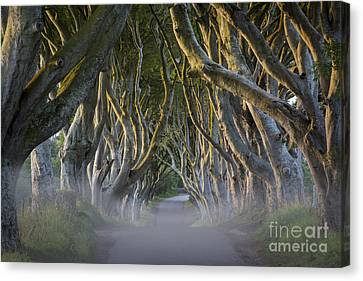 Dark Hedges - Misty Morning Canvas Print by Brian Jannsen