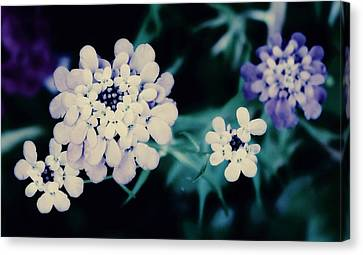 Dark Pincushions Canvas Print by Cathie Tyler