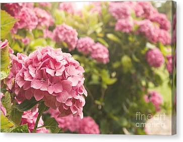 Dark Pink Hydrangea Canvas Print by Cindy Garber Iverson