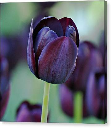 Dark Purple Tulip Canvas Print