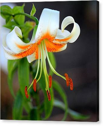 Darling Lily Canvas Print by Rosanne Jordan