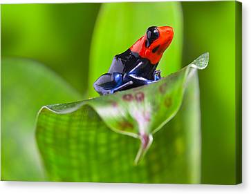 Dart Frog Canvas Print by Dirk Ercken