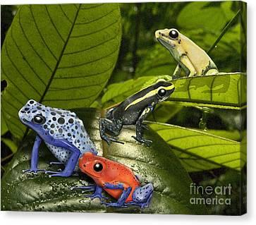 Dart-poison Frogs - Poison-dart Frogs Dendrobatidae - Baumsteiger Frosch - Pijlgifkikkers Canvas Print by Urft Valley Art