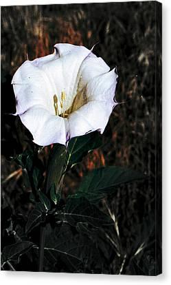 Datura Blossum Canvas Print by Richard Henne