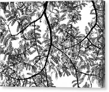 Dawn Redwood Foliage Monochrome Canvas Print by Tim Gainey