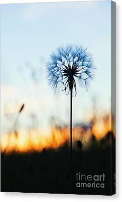 Dawn Seedhead Canvas Print